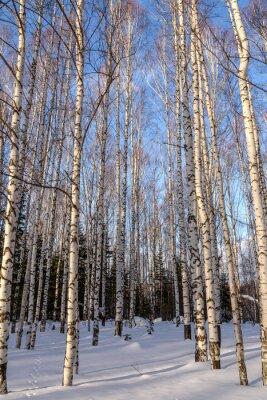 Fototapeta brzozowy las zima śnieg