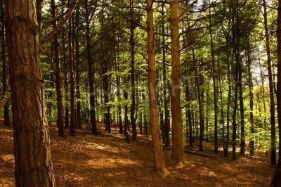 Fototapeta Brzozy i buki w scenie leśnej