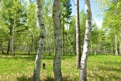 Fototapeta Brzozy w lesie