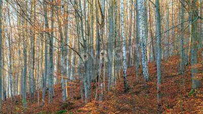 Fototapeta Brzozy w lesie Jesień