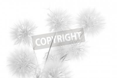 Fototapeta Bukiet z dandelions na białym tle. Czarno-biały, wysoki klucz.