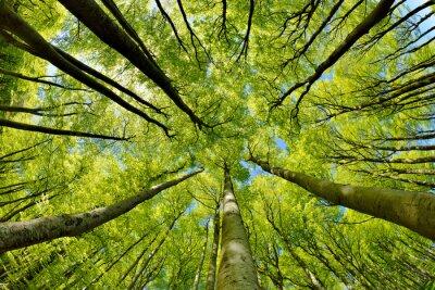 Fototapeta Bukowe drzewa leśne wczesną wiosną, od dołu świeże zielone liście