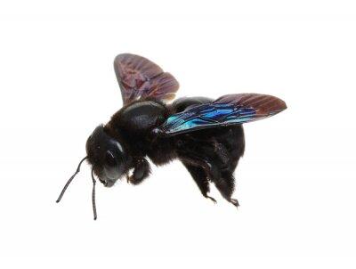 Bumblebee isolated on white background