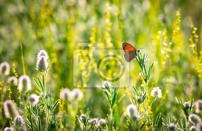 Fototapeta butterfly on wild flower meadow
