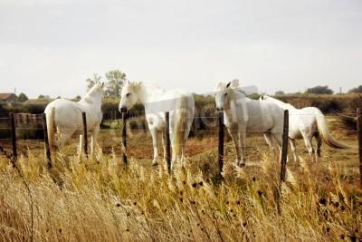 Fototapeta Camargue białe konie, Camargue, Francja