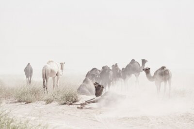 Camels (dromedaries) during sand storm in the Sahara desert, Mhamid, Morocco.