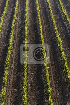 Fototapeta Campos de viñedos de la rioja