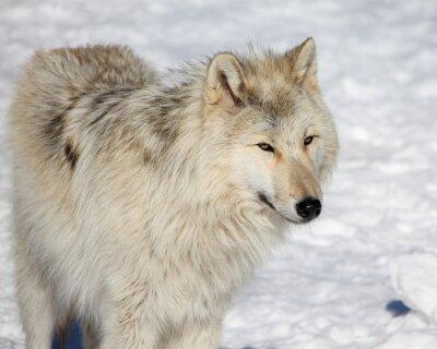Fototapeta Canadian/Rocky Mountain gray wolf