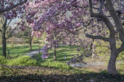 Fototapeta Central Park Magnolia drzewo