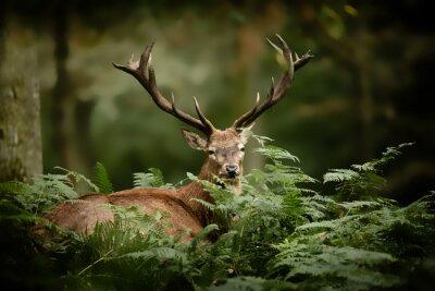 Fototapeta Cerf brame chasse bois mammifère roi forêt cervidé fougère s