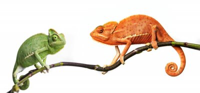 Fototapeta Chameleon - Kameleon jemeński na gałęzi
