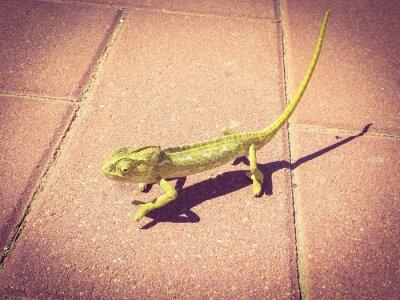 Fototapeta Chameleon w ruchu