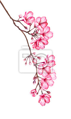 Cherry blossom flowers isolated on white background. Watercolor illustration.