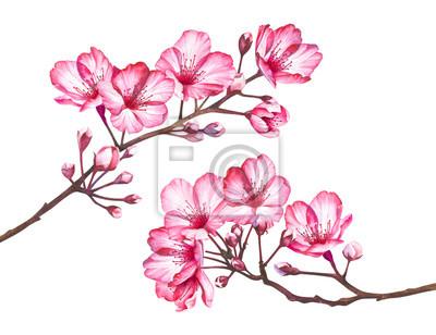 Fototapeta Cherry blossom flowers isolated on white background. Watercolor illustration.