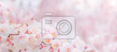 Fototapeta Cherry blossom in spring for background or copy space for text