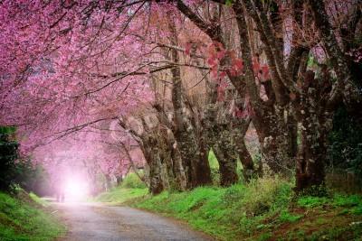 Fototapeta Cherry Blossom Pathway w Chiang Mai