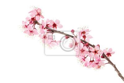 Fototapeta Cherry Blossoms