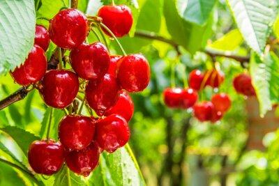 Fototapeta Cherry owoce na gałęzi drzewa z kropli wody