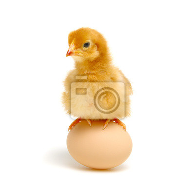 chick and egg isolated on a white