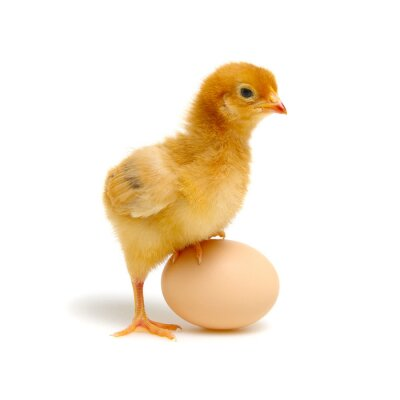 Fototapeta chick and egg isolated on a white