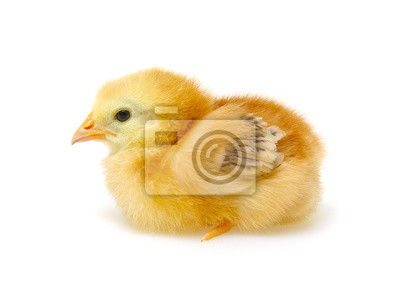 Chick isolated on white