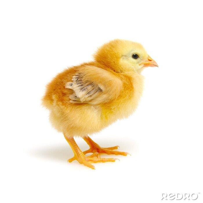 Fototapeta Chick isolated on white