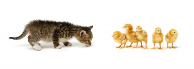Chicks and cat isolated on white