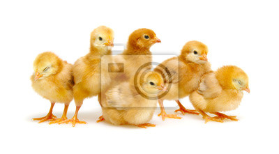 Chicks isolated on white