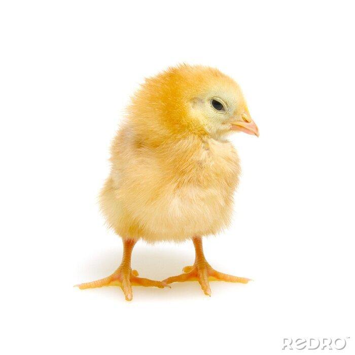 Fototapeta Chicks isolated on white