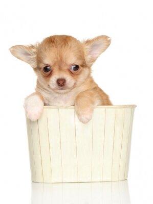 Fototapeta Chihuahua puppy w pudełku