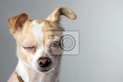 Fototapeta Chihuahua Wink