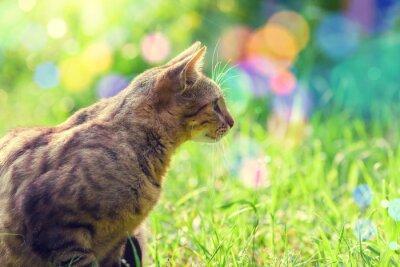 Fototapeta Chodzenie Kot w wysokiej trawie