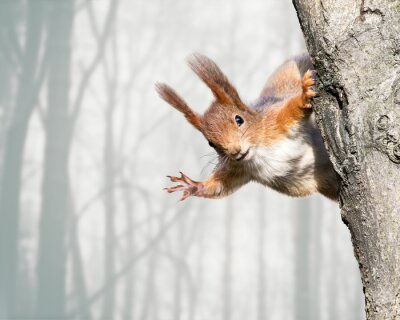 Fototapeta ciekawy wiewiórka czerwona lokalizacja na drzewie
