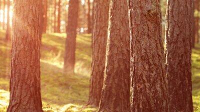 Fototapeta Ciepłe lato słońca w lesie sosnowym