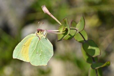 Fototapeta Cleopatra karmienie na kwiat motyl