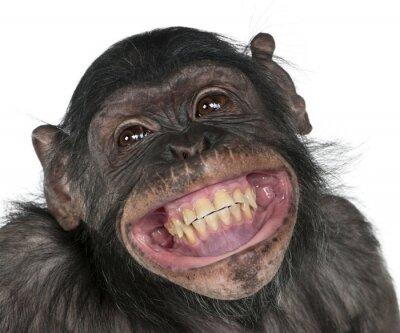 Fototapeta close up of a chimpanzee,portrait of monkey,crazy fun smile monkey.