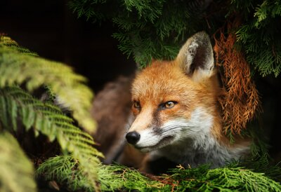 Fototapeta Close up of a Red fox lying under a tree