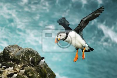 Fototapeta Close up of Atlantic puffin in flight
