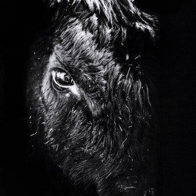Fototapeta Close-up Of Black Angus