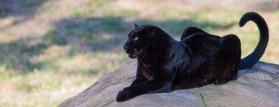 Fototapeta CLOSE-UP OF black panther