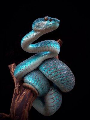 Fototapeta Close-up Of Blue Snake On Branch Against Black Background
