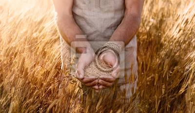 Fototapeta Close up of farmer's hands holding organic einkorn wheat seed on the field at the sunset