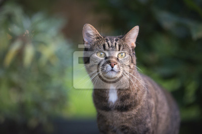 Fototapeta close up portrait of a tabby domestic shorthair cat in the garden looking curiously