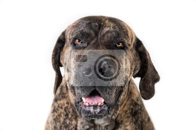Fototapeta Close-up portret wielkiego psa
