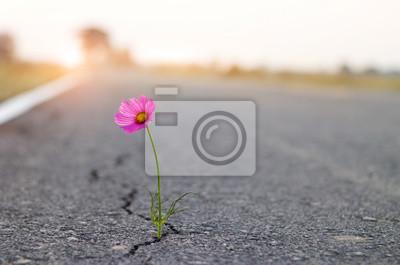 Fototapeta close up, purple flower growing on crack street background.