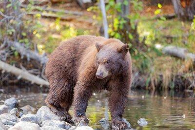 Fototapeta Close up shot of a Bear hunting fish in Lake Tahoe
