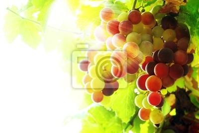 Close-up z kiści winogron na winorośli w winnicy.