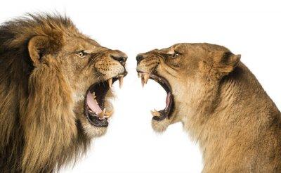 Fototapeta Close-up z Lion i Lioness ryk na siebie