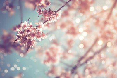Fototapeta Close-up z pięknej rocznika sakura drzewa kwiat (kwiat wiśni) na wiosnę. rocznik kolorowy styl tonu.