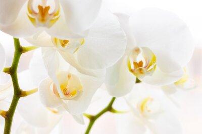 Fototapeta Close-up z pięknych białych orchidei kwiaty